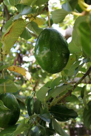 The Blue House Boutique Bed & Breakfast: Jamaican Pear (Avocado) in the neighbor's yard.