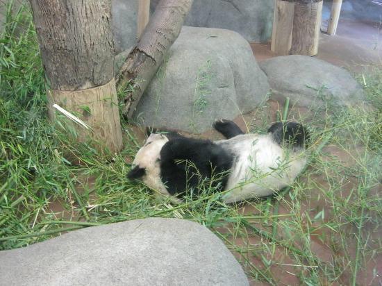 Memphis Zoo: sleeping panda