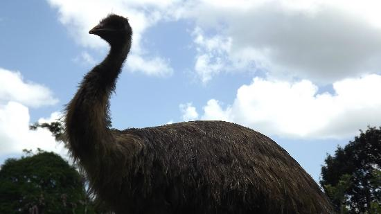 Horquetas, Costa Rica: Emu