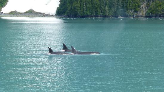 26 Glacier Cruise by Phillips Cruises and Tours: Orcas