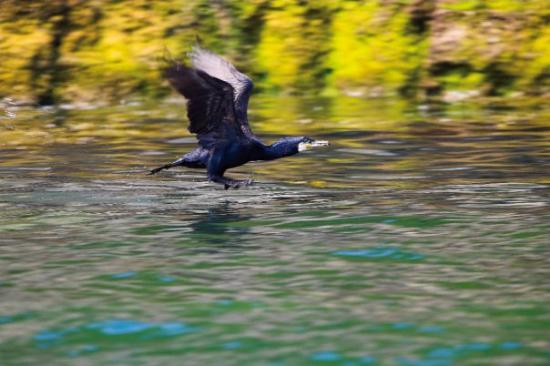 Seacoast Safaris: Cormorant at Puffin Island