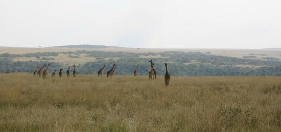 Mara Ngenche Safari Camp: giraffes