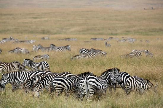 Mara Ngenche Safari Camp: tons of zebras