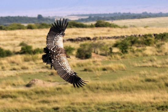 Mara Ngenche Safari Camp: Vulture circling while lions eat below
