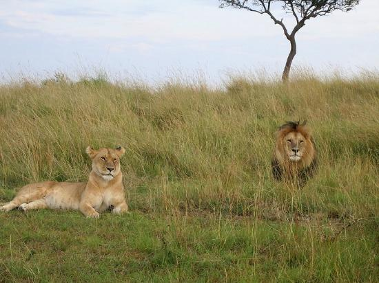 Mara Ngenche Safari Camp: lions