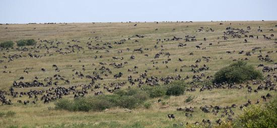 Mara Ngenche Safari Camp: millions of wildebeests