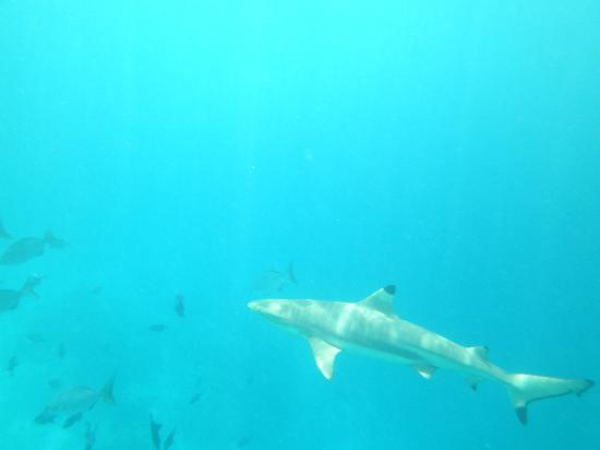 Baros Maldives: shark at house reef
