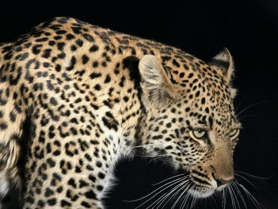 Hoedspruit, Sydafrika: Leopard on the move