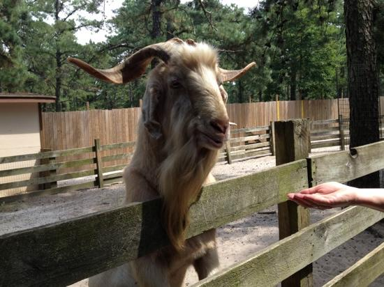 Popcorn Park Zoo: feeding the always a hungry goats