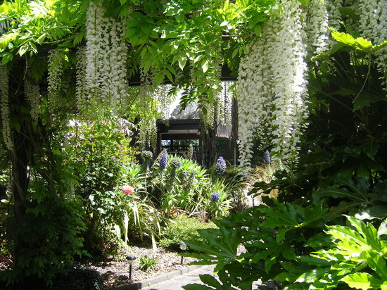 A Panoramic Country Homestay: White wisteria in garden