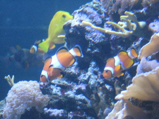 Nemo! Clown fish - Picture of Ripleys Aquarium, Myrtle Beach ...