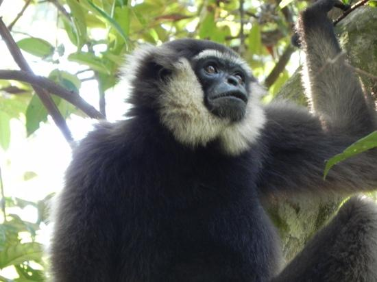 Camp Leakey : not only Orang-utans. a gibbon in the wild