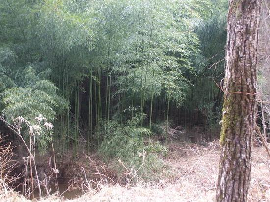 Rivanna Trails: Bamboo along the trail