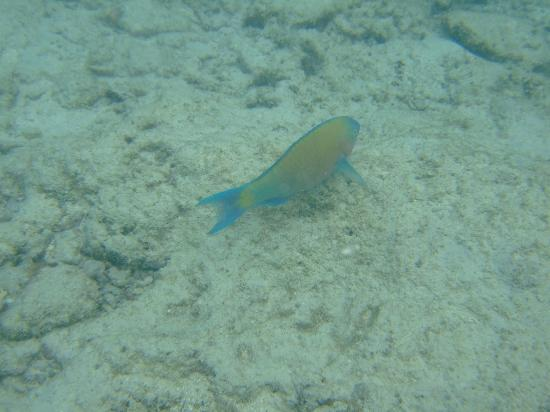Arorangi, หมู่เกาะคุก: One of the many fish I encountered just off pool area