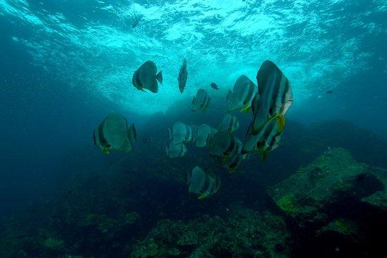 Blue Planet Divers: school of Bat Fish (Hin Deang )