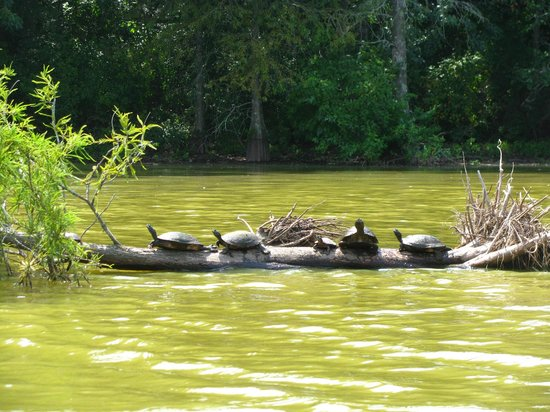 Trap Pond State Park: painted turtles