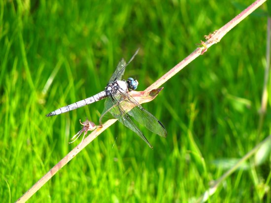 Trap Pond State Park: dragonfly