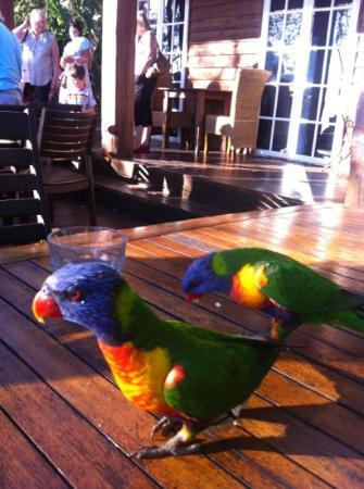 The Polish Place Chalets: friendly lorikeets