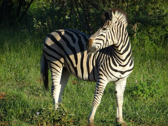Greenfire Game Lodge: Dazzling zebra