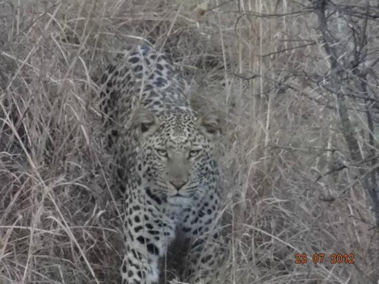 Black Leopard Camp: Leopard