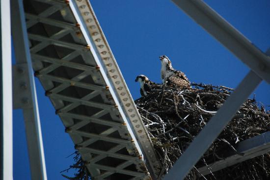 Castle Mountain Chalets: Osprey chicks