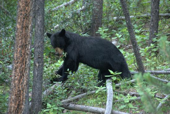 Castle Mountain Chalets: Bear on Bow Valley Pkwy five minutes north of cabin!