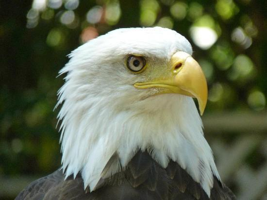 The Raptors: Bald Eagle