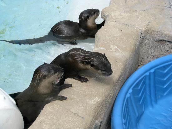 Gulfarium Marine Adventure Park: Otter Chat