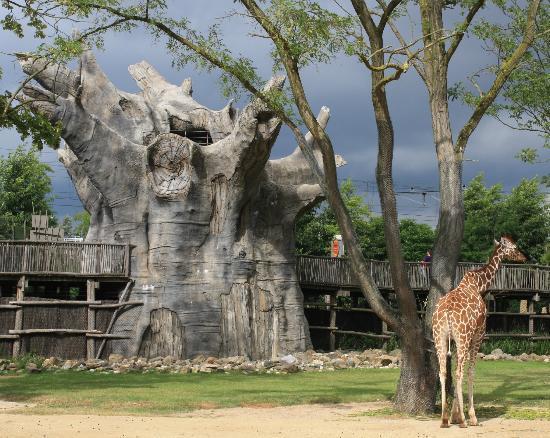 Rotterdam Zoo: giraffe