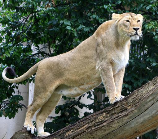 Rotterdam Zoo: a lion