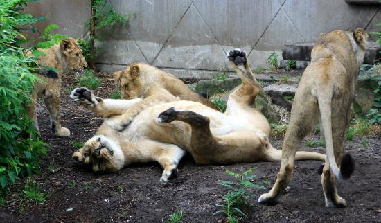 Rotterdam Zoo: lions