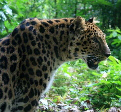 Rotterdam Zoo: a panther