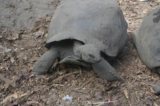 Anse Source D'Argent: mas tortugas... 