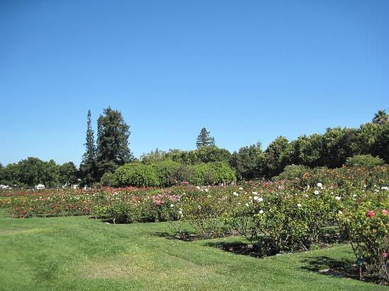 Roses In Garden: Picture Of Municipal Rose Garden