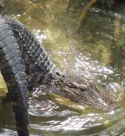 Alligator Farm Myrtle Beach Reviews