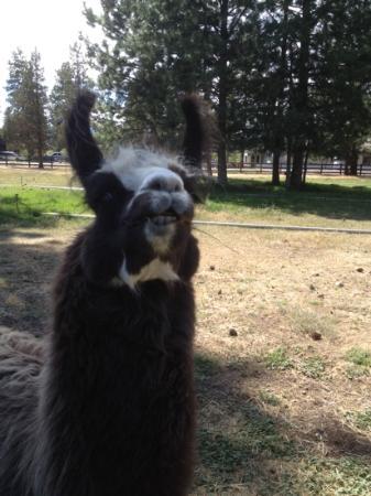 Best Western Ponderosa Lodge: buster is my faborite llama
