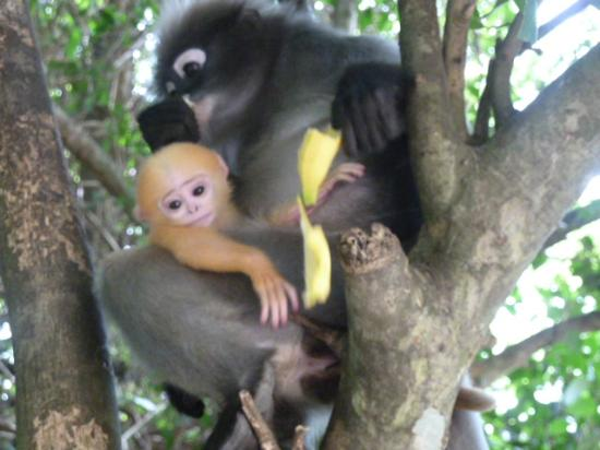 Prachuap Beach Hotel: Langur Monkeys