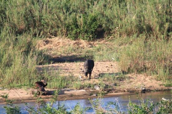 Buckler's Africa: Buffalo in Kruger