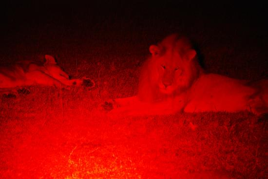 Encounter Mara, Asilia Africa: Lions on our evening game drive