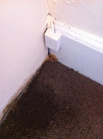 Wallsend, UK: mushrooms growing on carpet - this is after they had been ''cleaned up''!!!!
