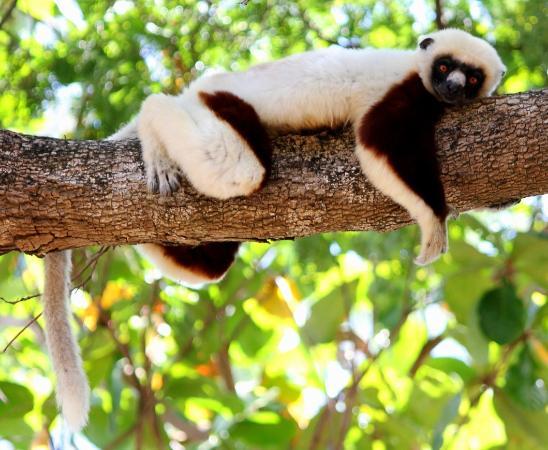 Anjajavy L'Hotel: Chillin' Lemur