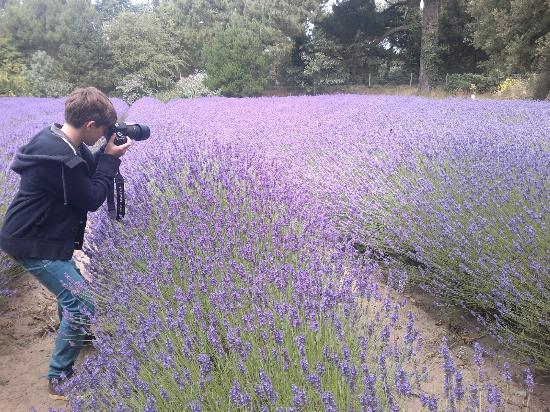 Jersey Lavender Farm: schon für Nahaufnahmen :-)