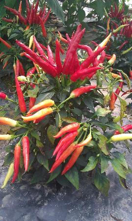South Devon Chilli Farm: More chillies ...