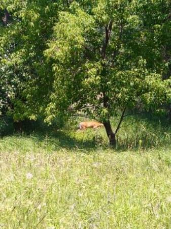 Parc Des Iles de Boucherville: A deer!