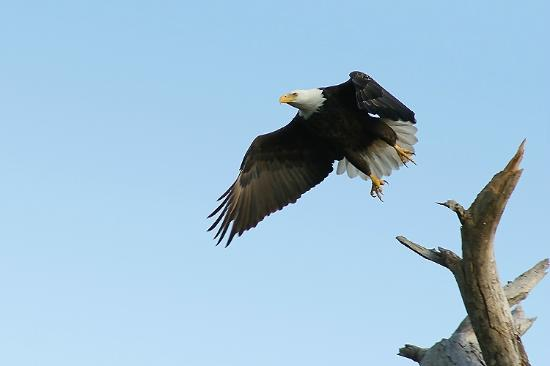Cedar Keys National Wildlife Refuge: Bald Eagle Taking Off From Atsena Otie