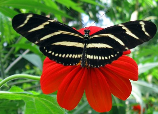 Zebra Longwing - Picture of Butterfly Rainforest ...