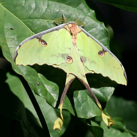 Butterfly Rainforest: Luna Moth