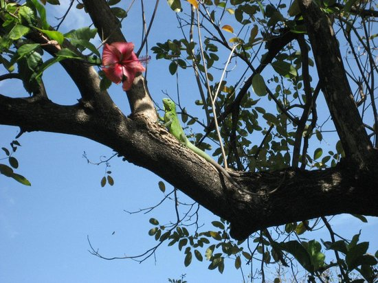 Hummingbird Inn: Garden Iguana