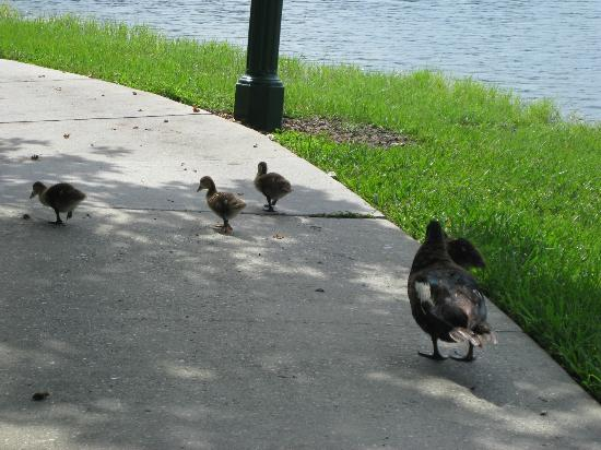 Wyndham Cypress Palms: ducks on the resort
