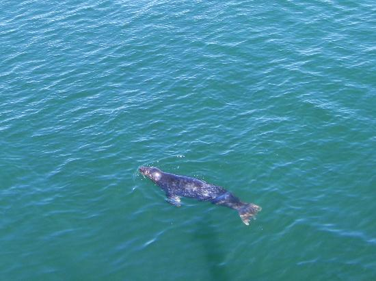 Cape Cod Scenic Tours: Seal in Chatham